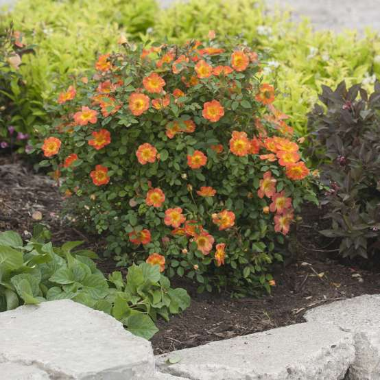 Oso Easy Paprika Rose blooming in garden bed next to rock border
