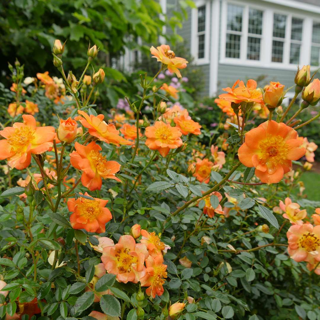 Heavy blooming orange and yellow Oso Easy Paprika Rose in the landscape