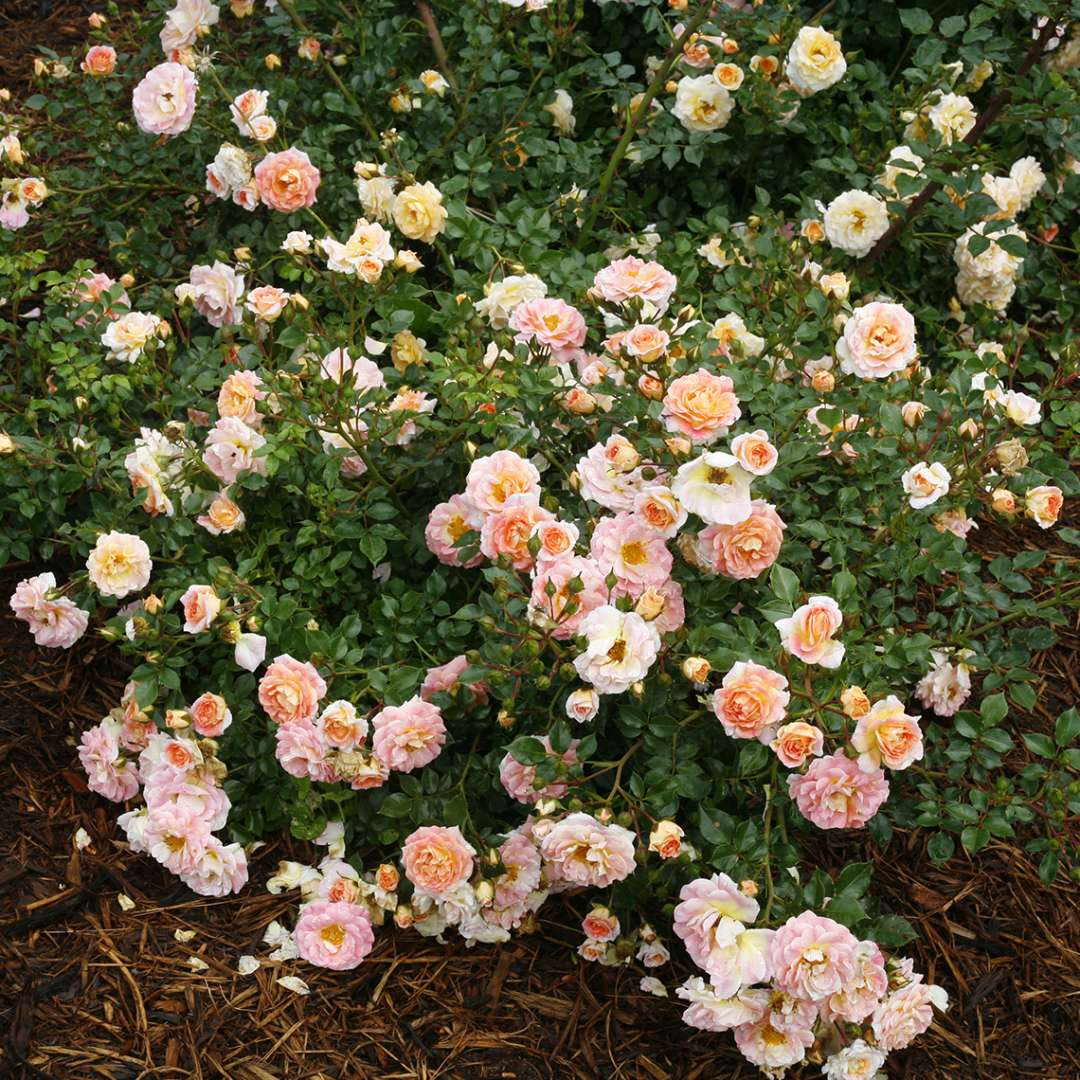 Heavy blooming light pink and light orange Oso Easy Peachy Cream Rose in a bed of mulch