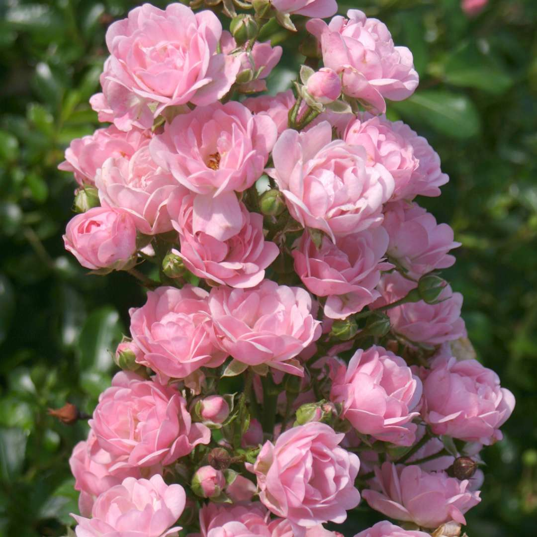 Heavy Blooming Light Pink The Fairy Rose