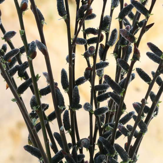 Close up of Black Cat Salix black blooms