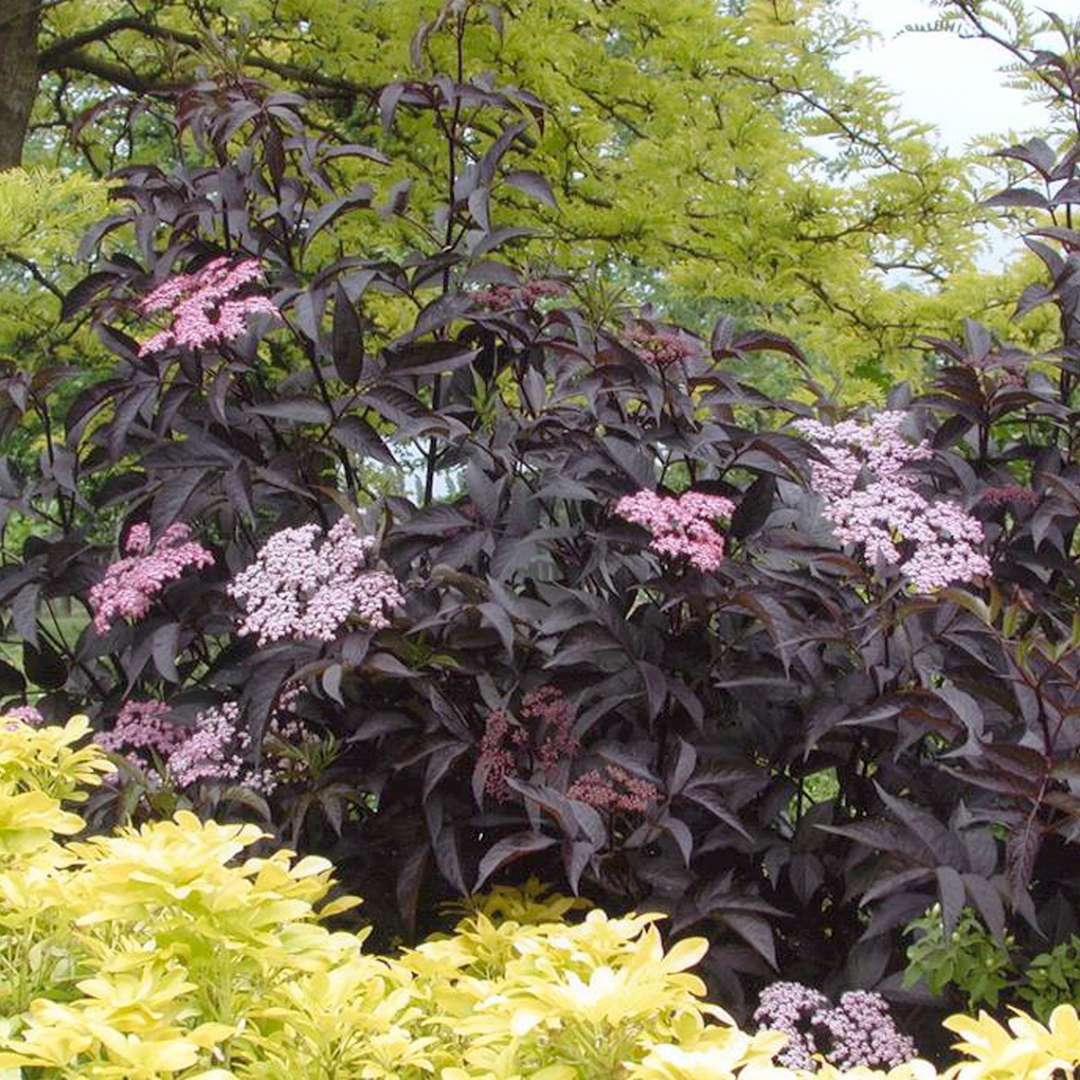 Black Beauty Sambucus blooming in the landscape