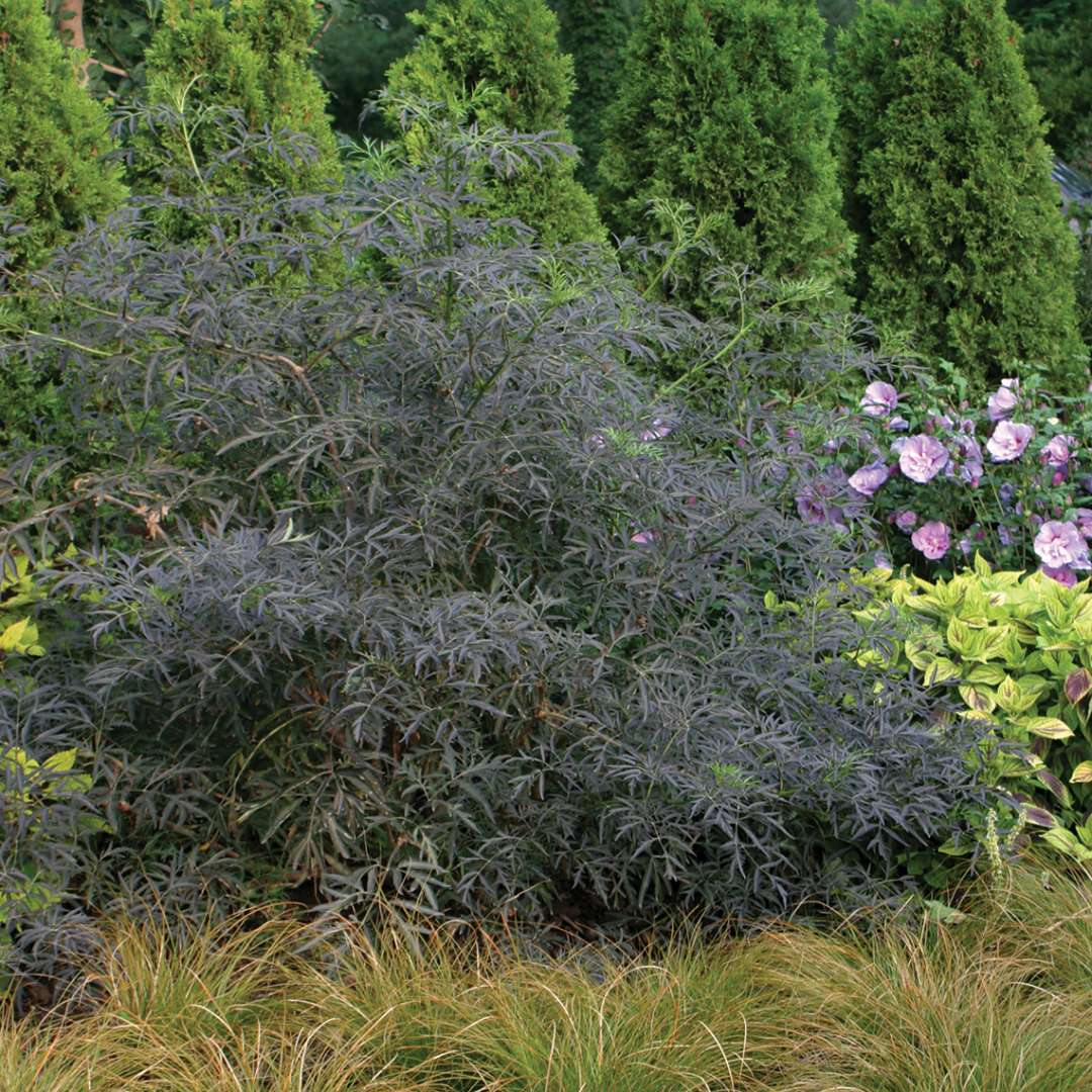 Black Lace Sambucus dark foliage in a flower bed