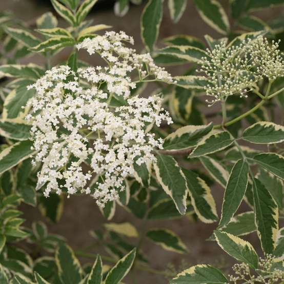 Close up of white Instant Karma Sambucus bloom with variegated foliage