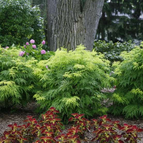 Row of lime green and green Lemony Lace Sambucus in a garden bed