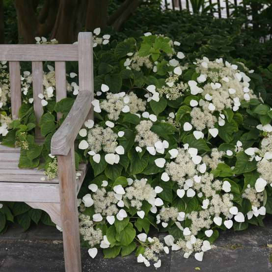 Moonlight Schizophragma blooming heavily next to wooden bench