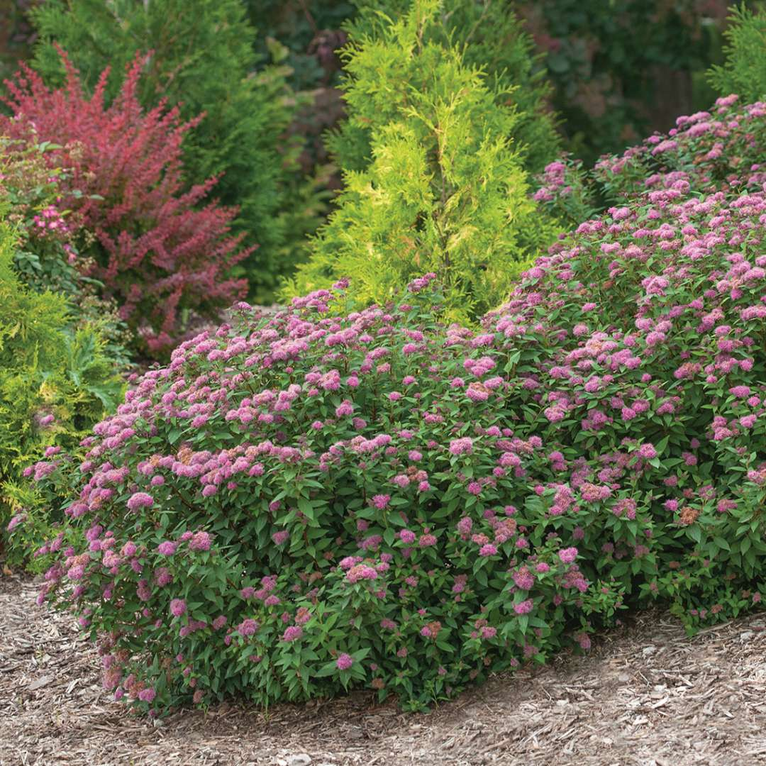 Mounded planting of Double Play Artisan Spiraea on sloping landscape