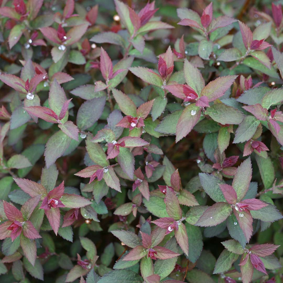 Close up of purple-red new growth of Double Play Artisan Spiraea