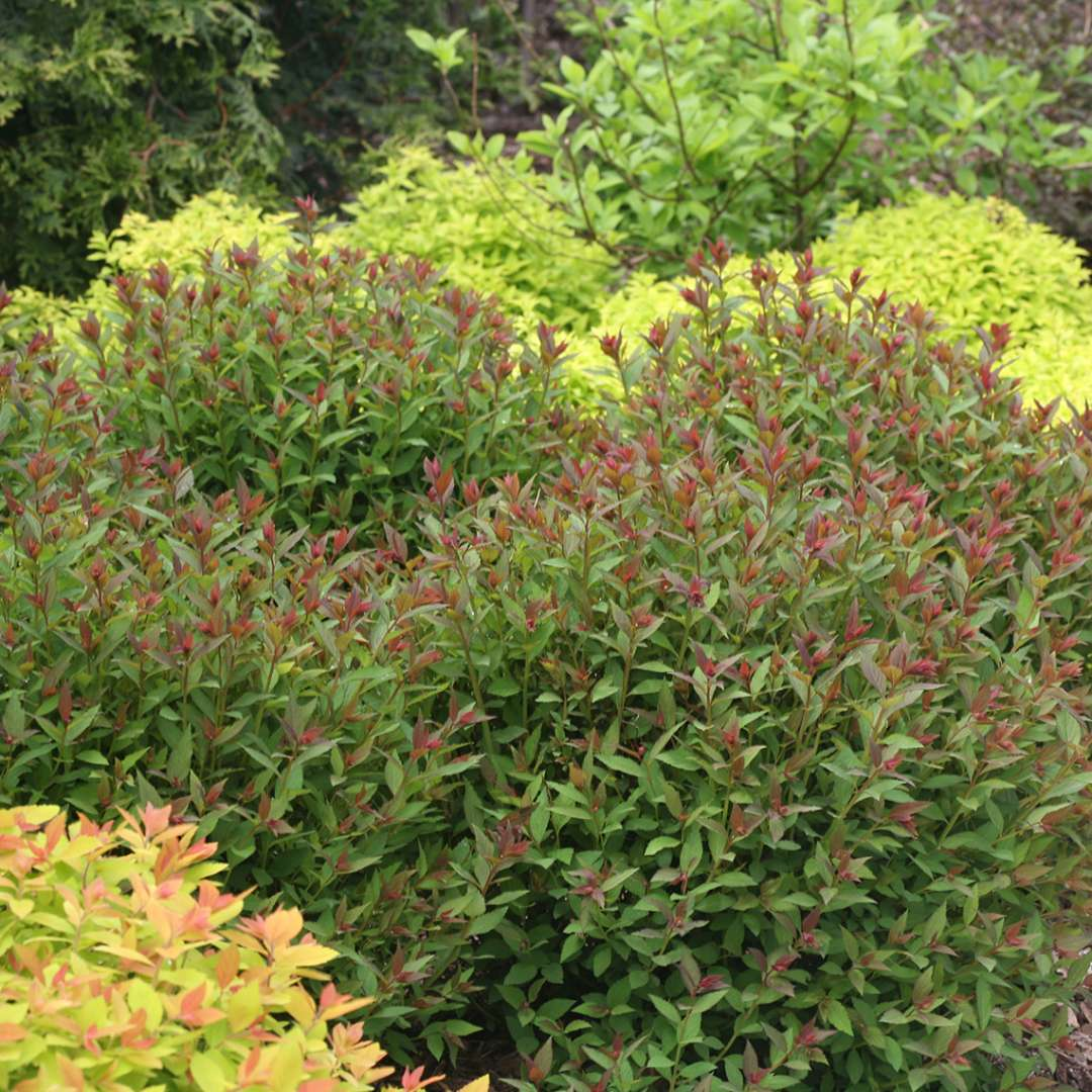 Mass planting of Double Play Artisan Spiraea tipped with red new growth