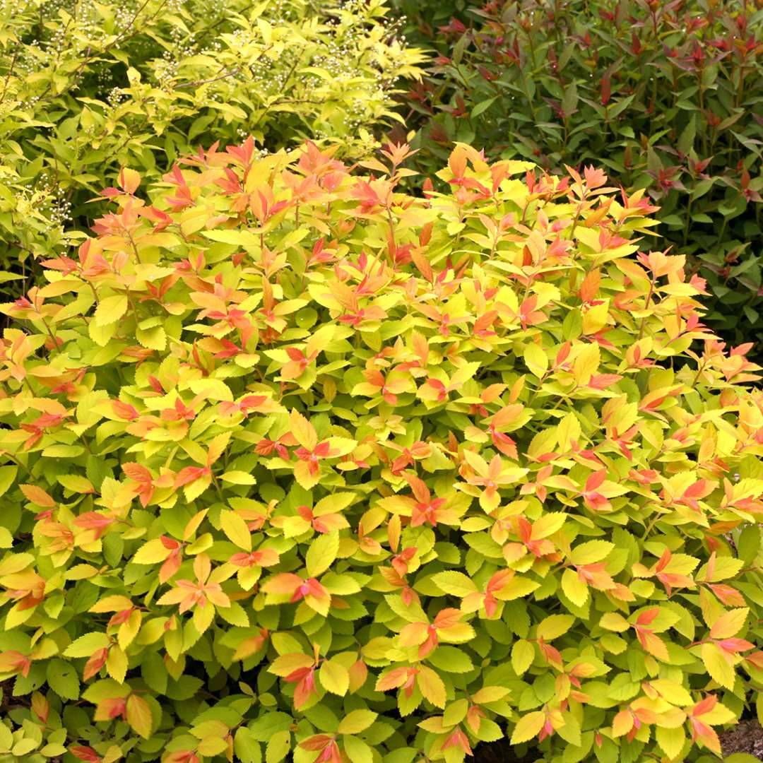 Lime and red new growth on Double Play Big Bang Spiraea