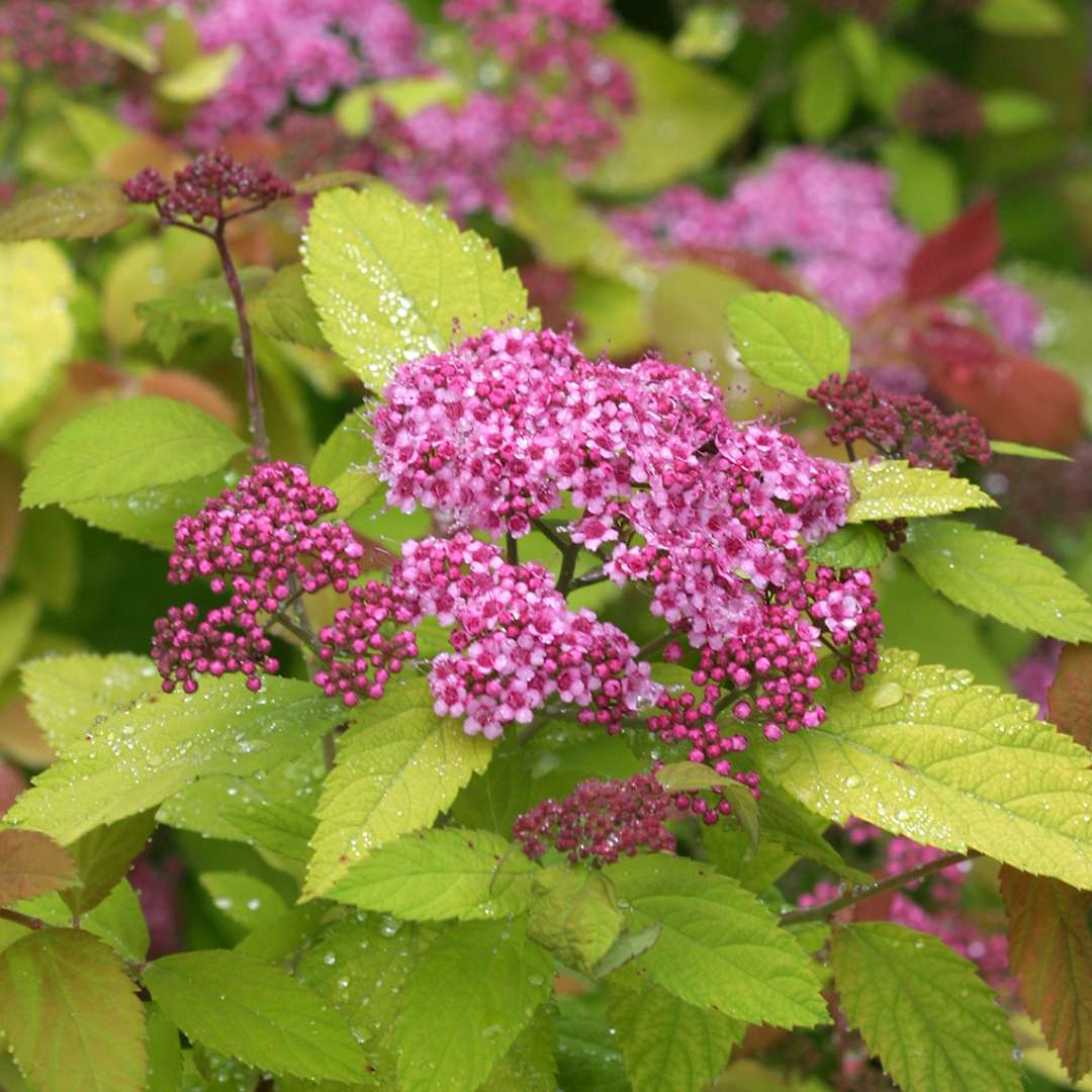 Close up of single pink flower cluster of Double Play Big Bang Spiraea