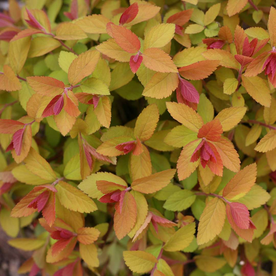 Close up of Doulbe Play Big Bang Spiraea's lime orange and red new spring growth