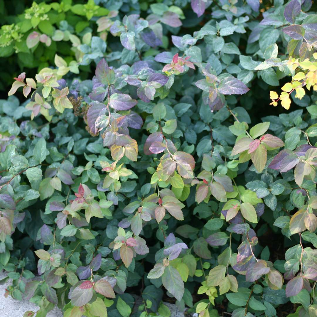Watercolor foliage of Double Play Blue Kazoo Spiraea in shades of red blue light and dark green