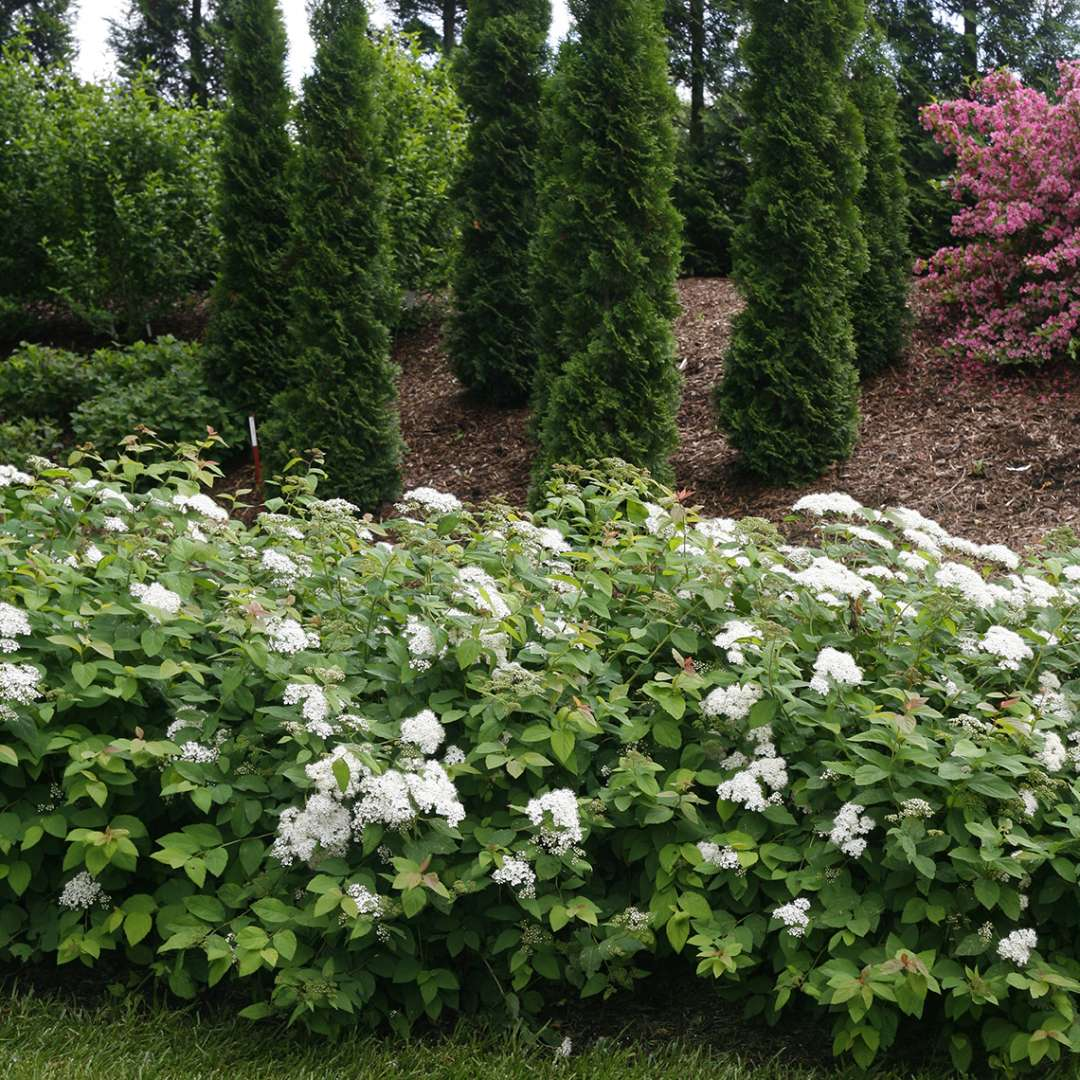 Flowering Double Play Blue Kazoo Spiraea in landscape with narrow Thuja