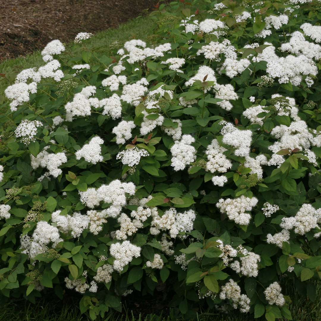 Dozens of white Double Play Blue Kazoo Spiraea flowers on mounded shrub