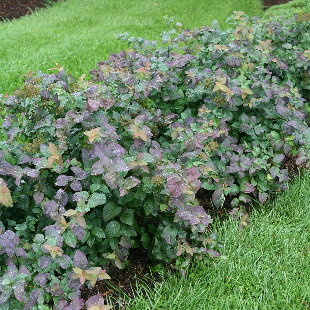 Colorful hedge of Double Play Blue Kazoo Spiraea