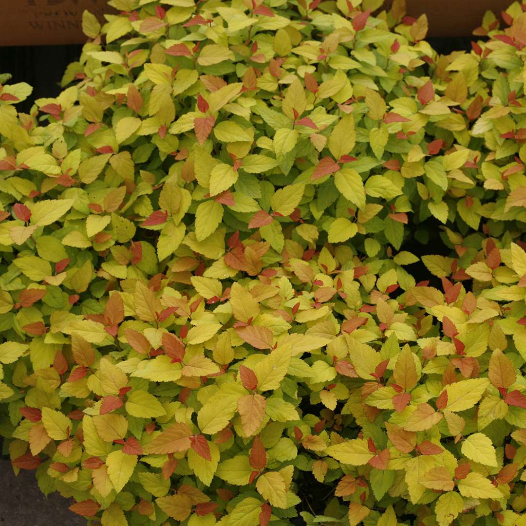 Group of Double Play Candy Corn Spiraea with colorful foliage
