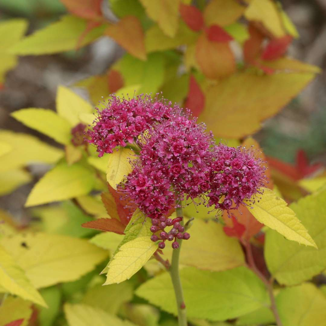 Purple flower of Double Play Candy Corn Spiraea against lime leaves