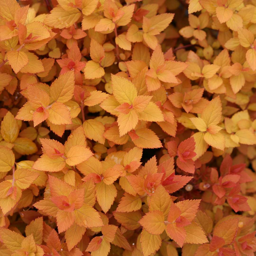 Orange spring foliage of Double Play Candy Corn Spiraea