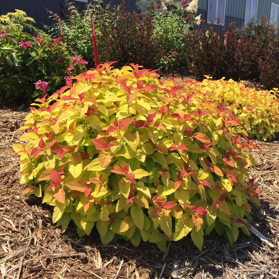 Orange lime and red new growth on Double Play Candy Corn Spiraea