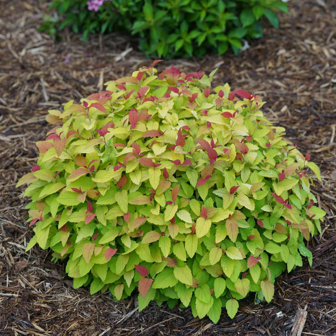 Low mounded Double Play Candy Corn Spiraea in landscape