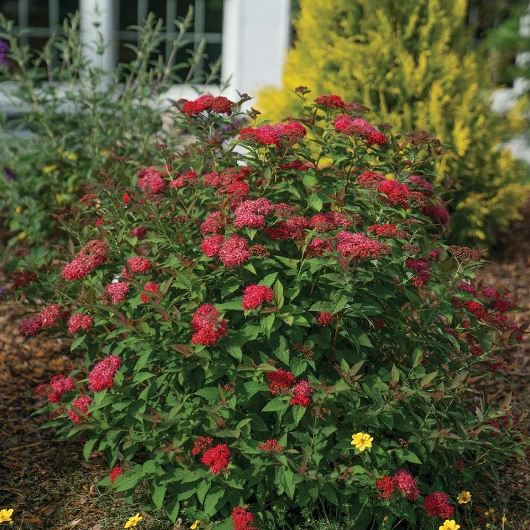Red flowered Double Play Doozie Spiraea in home landscape