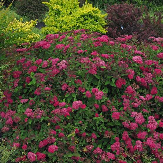 Heavy blooming Double Play Doozie Spiraea in landscape
