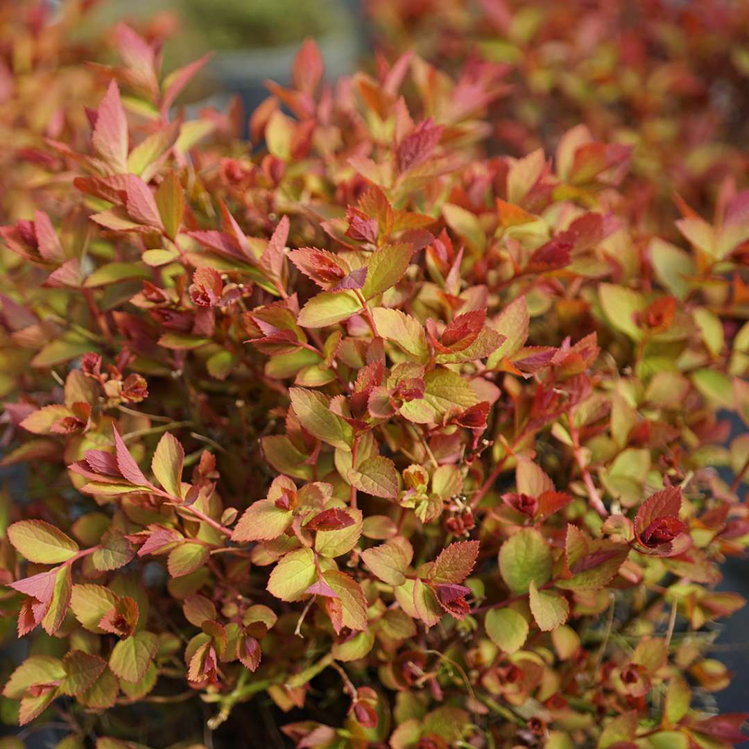 Bright lime and red early spring color of Double Play Doozie Spiraea