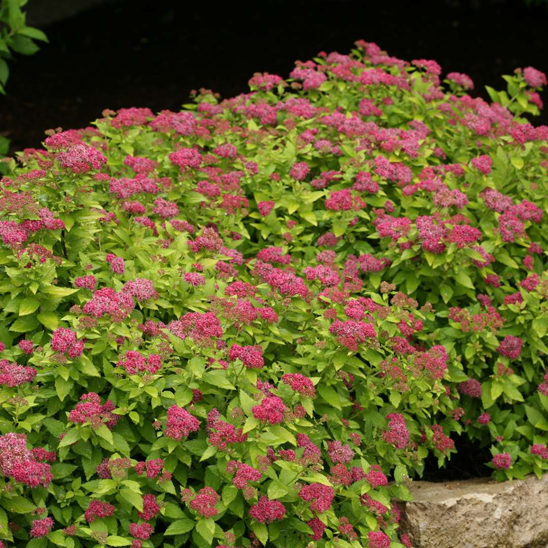 Double Play Gold Spiraea Spring Meadow Wholesale Liners Spring