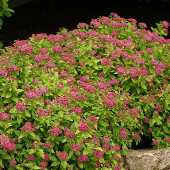 Pure pink flowers on a compact gold leafed Double Play Gold Spiraea