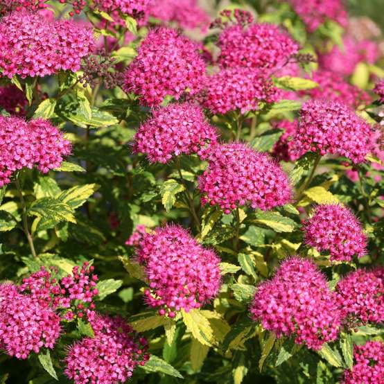 Double Play Painted Lady Spiraea's eye catching combination of hot pink flowers and yellow and green variegated foliage