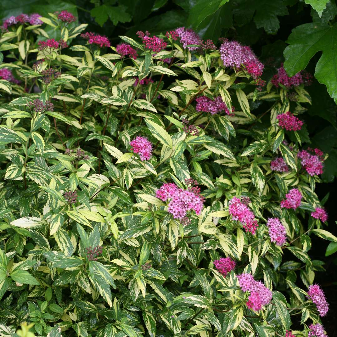 Double Play Painted Lady Spiraea blooming in landscape by oakleaf hydrangea