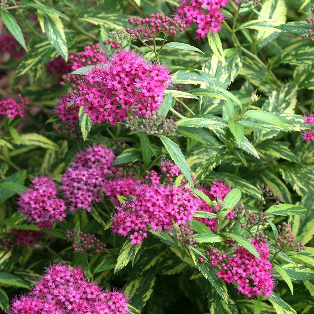 Close up of Double Play Painted Lady Spiraea's pink flowers and variegated foliage