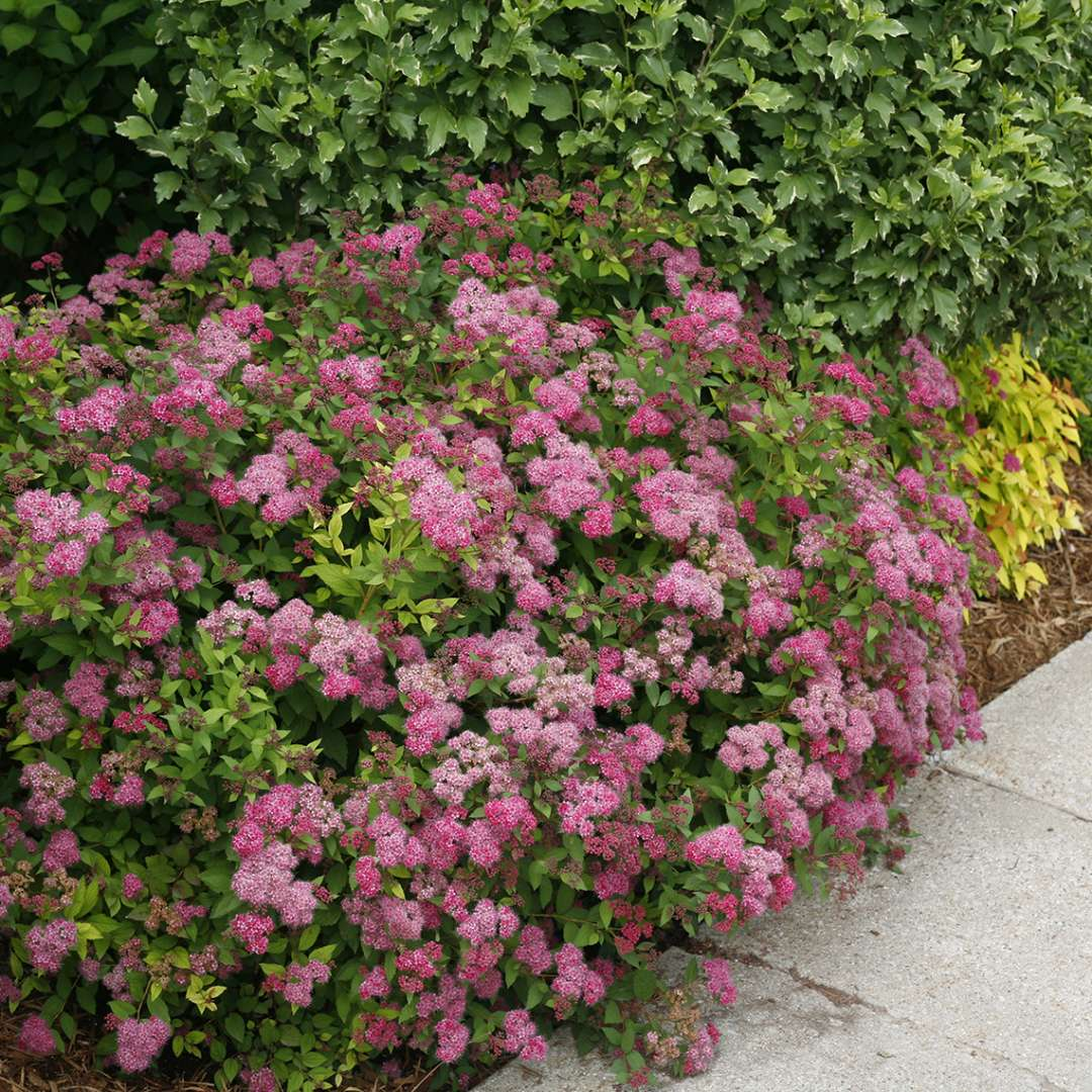 Mounded Double Play Pink Spiraea in garden bed along sidewalk