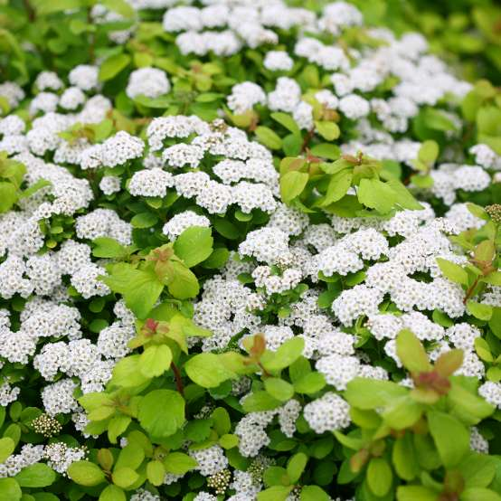 White button flowers of Glow Girl Spiraea floating above lime green foliage
