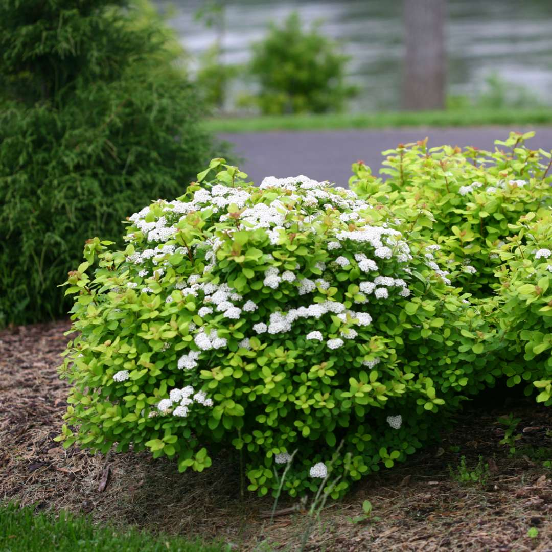 Rounded Glow Girl Spiraea in river landscape