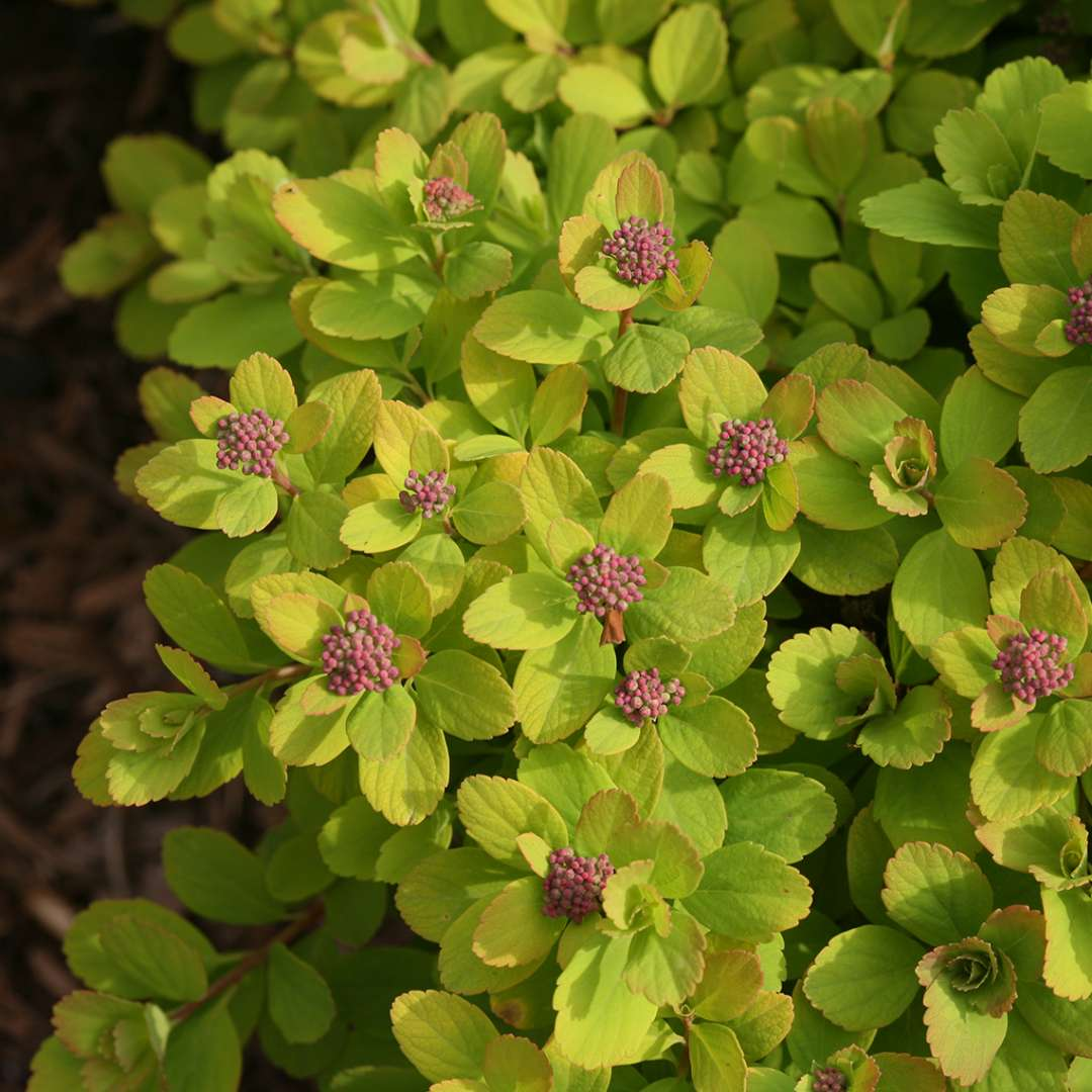 Close up of pink flower buds and rounded lime green foliage of Glow Girl Spiraea