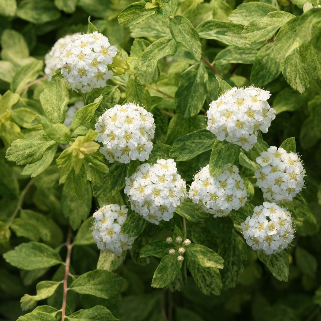 Golden Glitter Spiraea Spring Meadow Wholesale Liners Spring