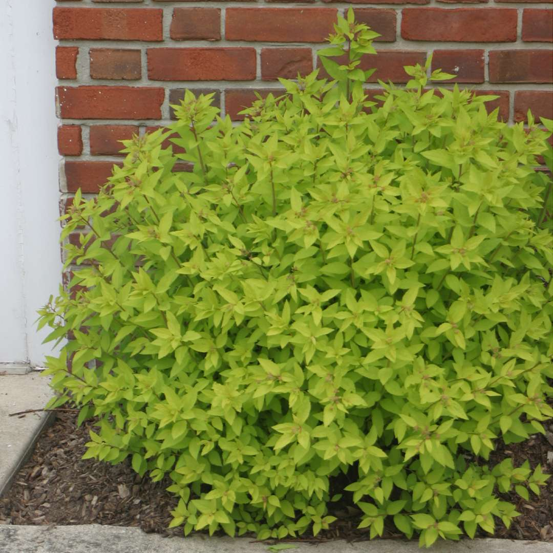 Bright lime foliage of Spiraea Goldmound against red brick wall