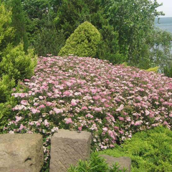 Drift of pink-flowering Spiraea Little Princess in sloped lakeside planting