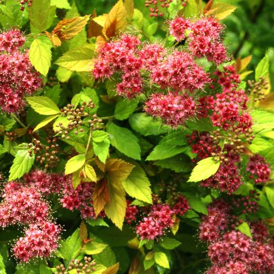Close up of deep pink flowers and bright lime foliage of Spiraea Magic Carpet