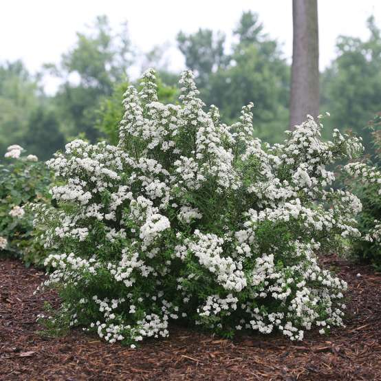 Compact Wedding Cake Spiraea in landscape
