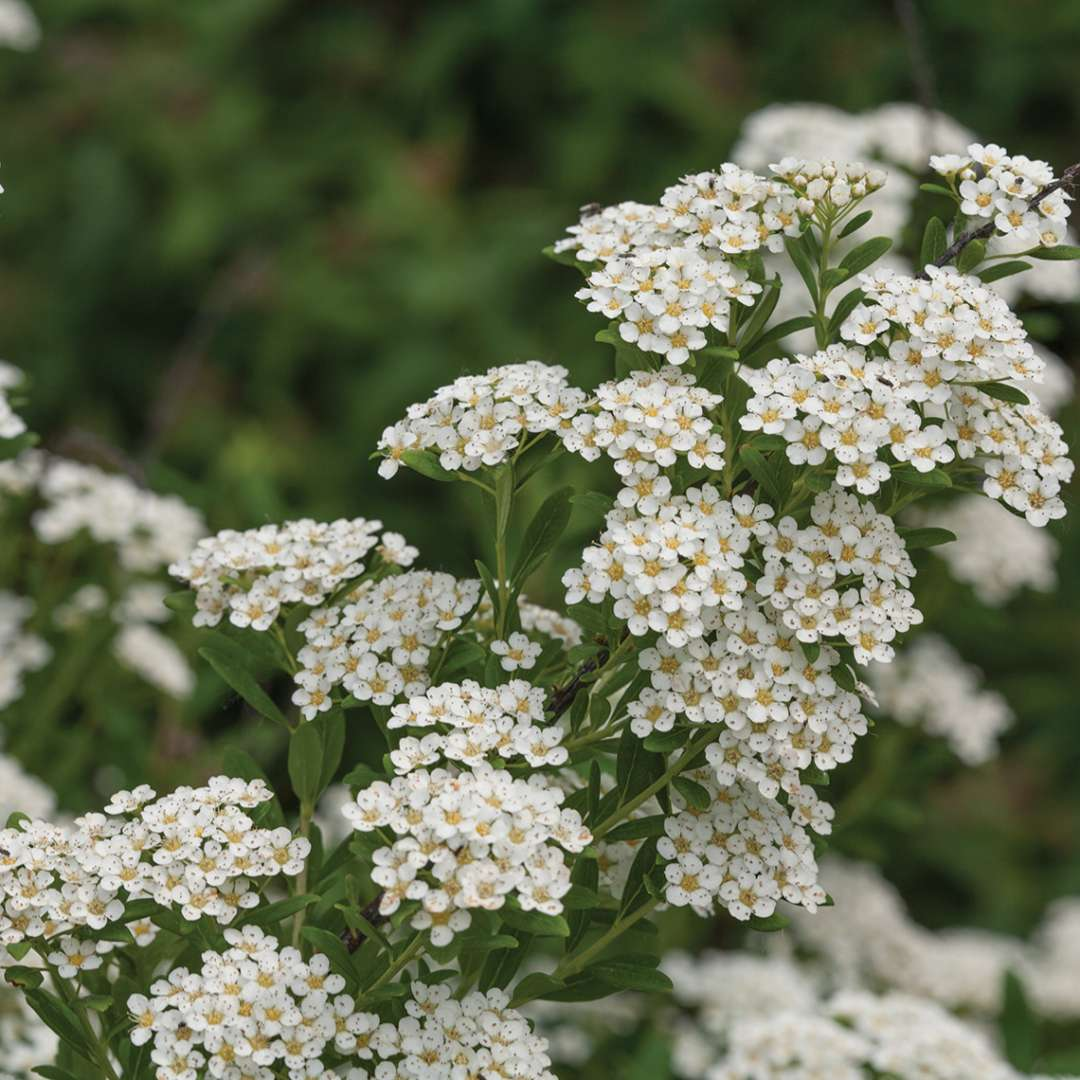 Close up of Wedding Cake Spiraea branch loaded with white blooms