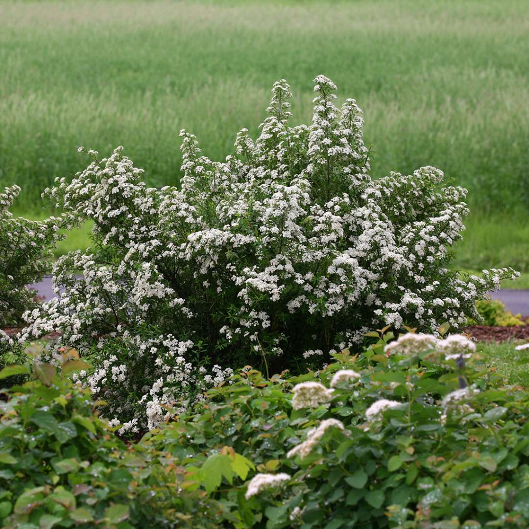 Spikes of Wedding Cake Spiraea covered in white spring flowers