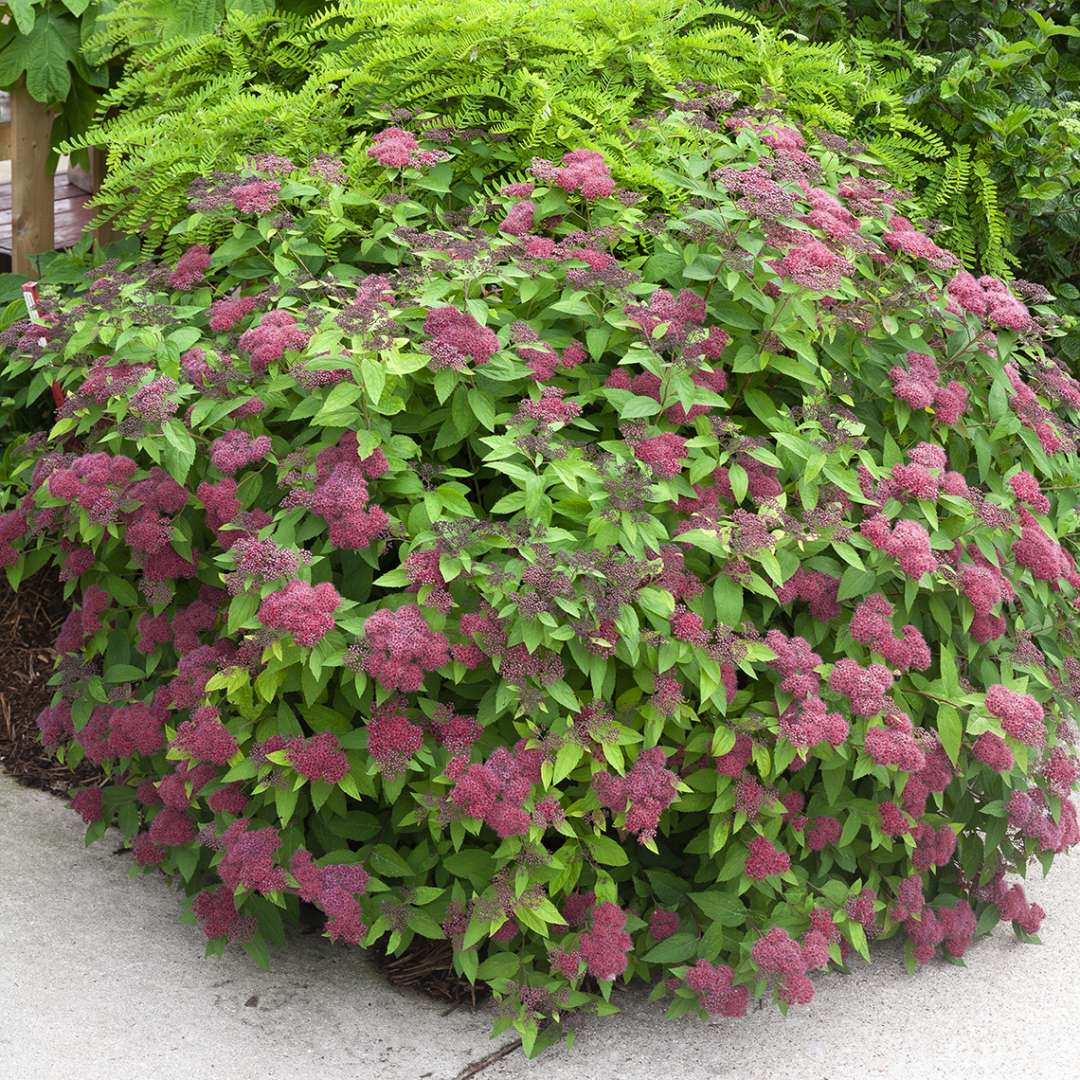 Rounded Double Play Red Spiraea at corner of garden bed
