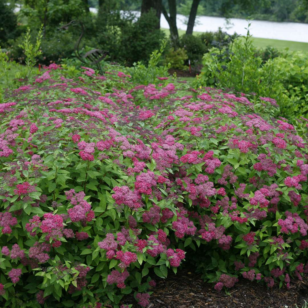 Mass planting of Double Play Red Spiraea in landscape