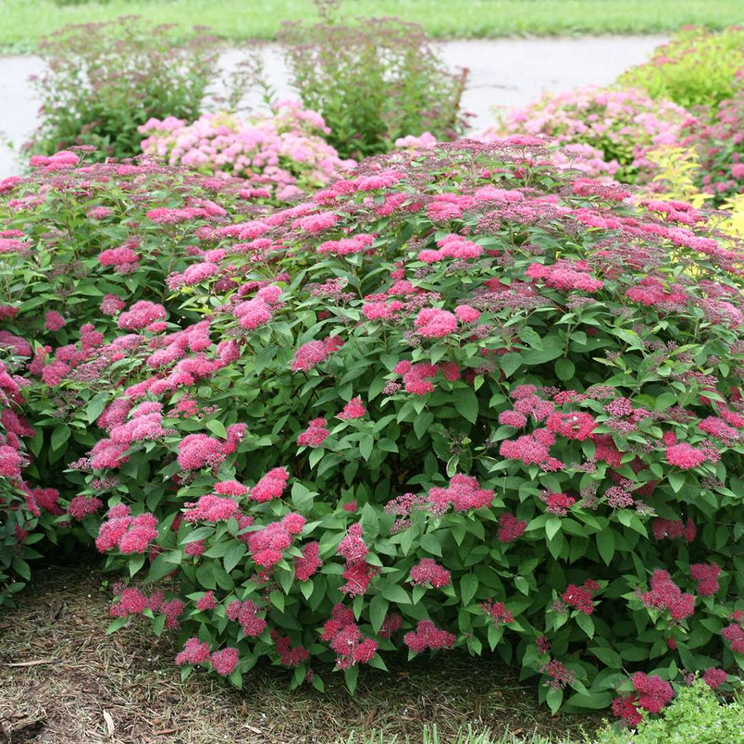 In bloom Double Play Red Spiraea in landscape