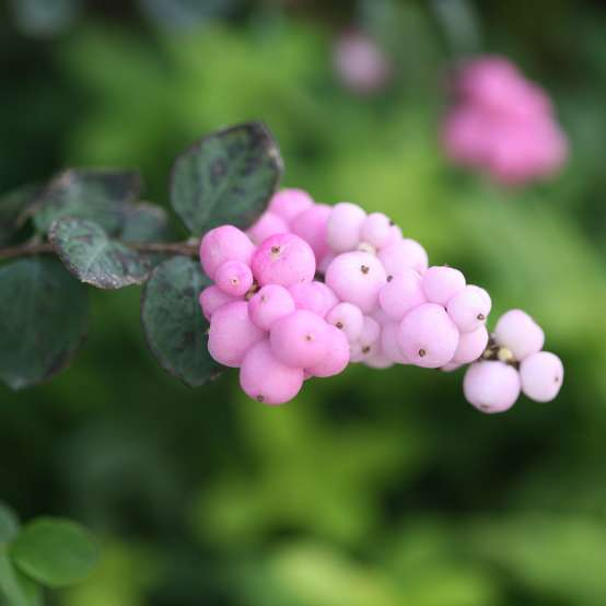 Close up of a clusters of pink berries on Proud Berry symphoricarpos aka coralberry