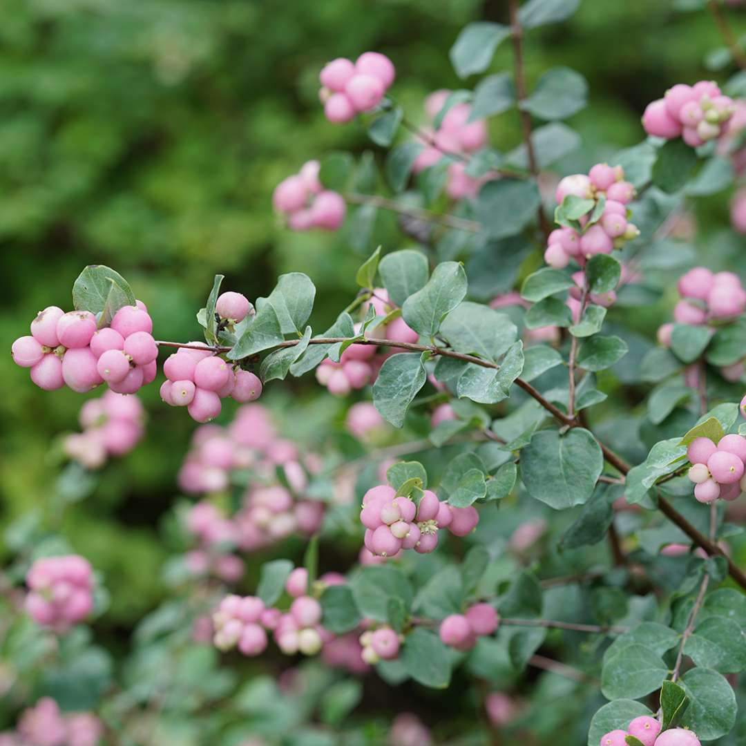 A branch of Proud Berry symphoricarpos with a heavy set of pink berries