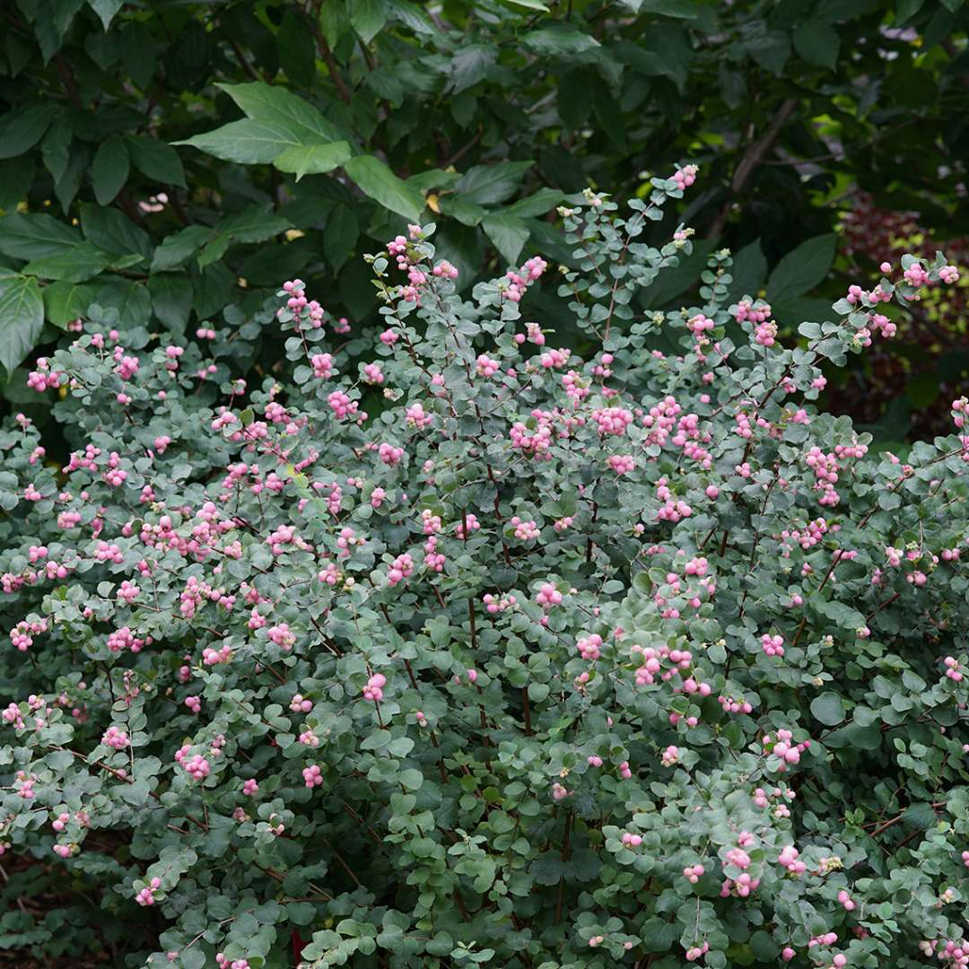 Proud Berry symphoricarpos shrub in a landscape